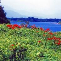 10 徳島県 吉野川 川畔の彼岸花