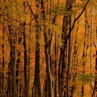 03 ブナ林の秋模様