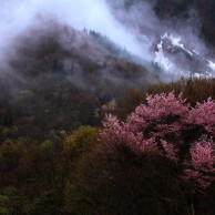 06 山桜