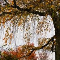 05 京都円山公園しだれ桜の秋