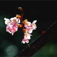 11 徳島公園蜂須賀桜