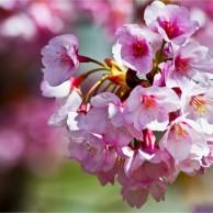 12 徳島公園蜂須賀桜